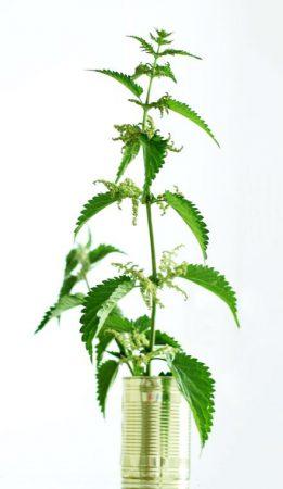brandnetel plant